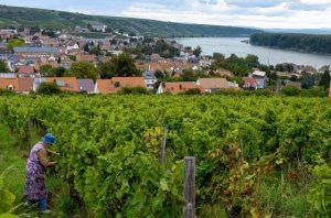 Blick auf Nierstein: Der Weinbau spielt in Rheinhessen, dem größten deutschen Weinbaugebiet, eine große Rolle. © dpa