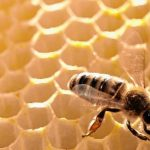Honigbiene bei der Arbeit.